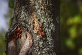"""Постер, картина, фотообои """"выборочный фокус колонии firebugs на старый ствол дерева"""""""