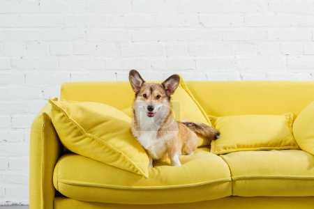 adorable pembroke welsh corgi on sofa with white background