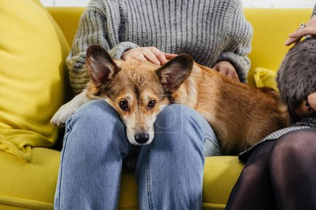 cropped view of woman sitting on sofa and stroking cute pembroke welsh corgi dog