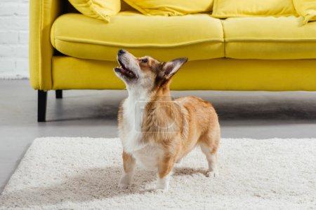 Photo pour Adorable pembroke welsh corgi chien debout sur tapis - image libre de droit