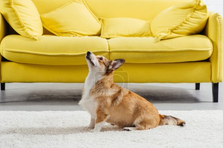 adorable pembroke welsh corgi dog perfoming command to sit