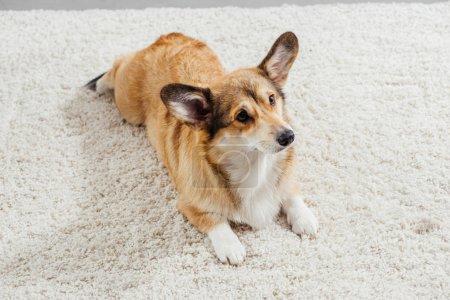 Photo pour Mignon chien de corgi gallois pembroke couché sur tapis moelleux et regardant loin - image libre de droit