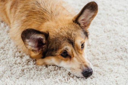 close up of cute pembroke welsh corgi dog lying on fluffy rug