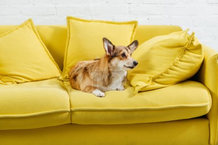 cute pembroke welsh corgi dog sitting on yellow sofa