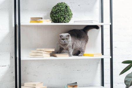 adorable scottish fold cat standing on shelving unit on white