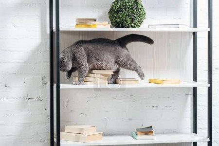 cute scottish fold cat standing on shelving unit on white