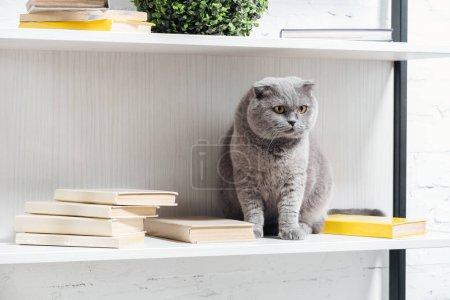 adorable scottish fold cat sitting on shelving unit on white