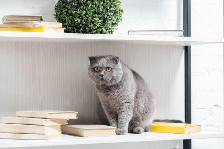 funny scottish fold cat reck sitting on shelving unit on white