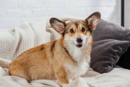 adorable pembroke welsh corgi sitting on sofa and looking at camera