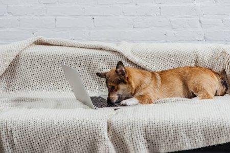 Photo pour Adorable chien corgi sur canapé avec ordinateur portable - image libre de droit