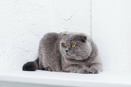 Photo for Funny scottish fold cat on white background - Royalty Free Image