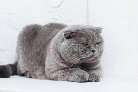 cute scottish fold cat sleeping on white background