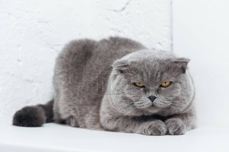 Photo for Funny scottish fold cat lying on white background - Royalty Free Image