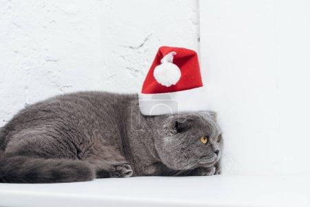 adorable scottish fold cat in christmas santa hat on white