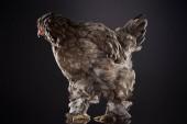 """Постер, картина, фотообои """"чистокровный куриные коричневые перья, стоя на темно-серый"""""""