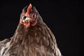 """Постер, картина, фотообои """"заделывают чистокровных курицы, сложенные"""""""