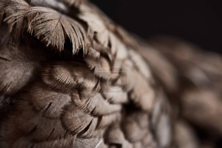 Photo for Close up texture of brown chicken feathers isolated on black - Royalty Free Image