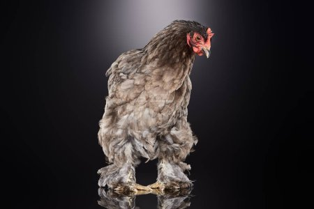 Photo for Purebred farm chicken with brown feathers standing on dark grey - Royalty Free Image