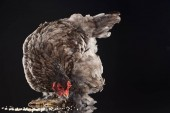 """Постер, картина, фотообои """"коричневый фермы курица ест проса на черном"""""""