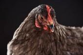 """Постер, картина, фотообои """"заделывают чистокровных коричневые курицы, сложенные"""""""