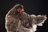 """Постер, картина, фотообои """"фермы куриные коричневые перья, сложенные"""""""