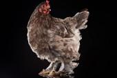 """Постер, картина, фотообои """"ферме цыпленка с коричневые перья, сложенные"""""""
