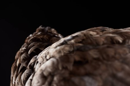 Photo for Texture of brown chicken feathers isolated on black, selective focus - Royalty Free Image