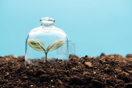 Photo for Small green plant covered under bell jar isolated on blue - Royalty Free Image