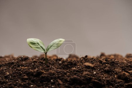 Photo for Small green plant with leaves in ground isolated on grey - Royalty Free Image
