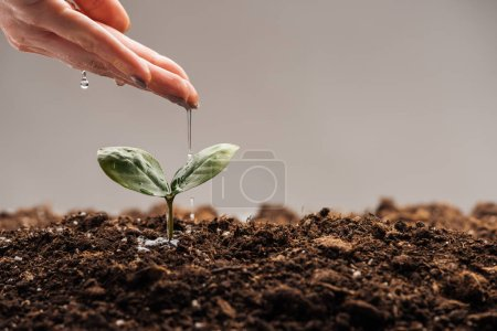 Photo for Cropped view of woman watering small green plant isolated on grey - Royalty Free Image