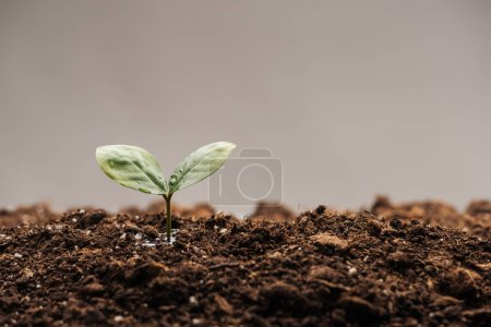 Photo for Small plant with green leaves in ground isolated on grey - Royalty Free Image