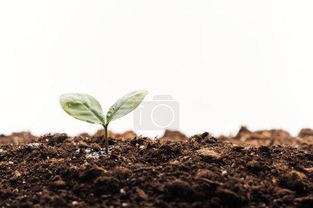 Photo pour Petite plante verte avec des feuilles dans le sol isolé sur blanc - image libre de droit