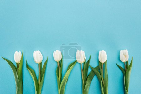 Photo for Top view of row of white tulip flowers isolated on blue - Royalty Free Image