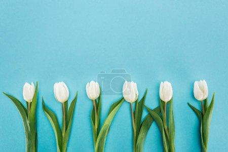 Photo pour Vue de dessus du rang de tulipe blanche fleurs isolées sur bleu - image libre de droit