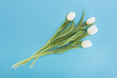 Photo for Top view of white tulip flowers isolated on blue - Royalty Free Image