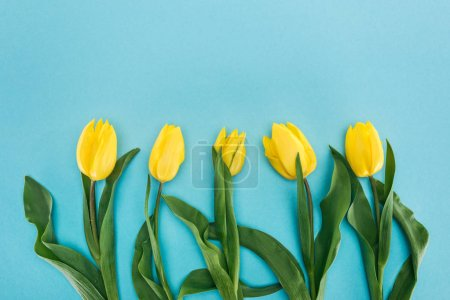 top view of row of yellow spring tulips isolated on blue