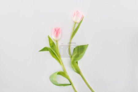 Photo pour Vue de dessus de deux fleurs de tulipe rose isolé sur fond gris - image libre de droit