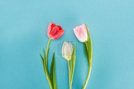 Photo pour Vue de dessus des tulipes blanches, roses et rouges printemps isolé sur bleu - image libre de droit