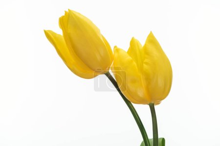 Photo for Two yellow tulip flowers isolated on white - Royalty Free Image