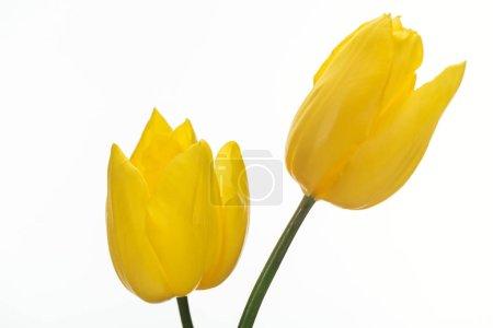 Photo pour Deux fleurs de tulipe jaune isolés sur blanc - image libre de droit