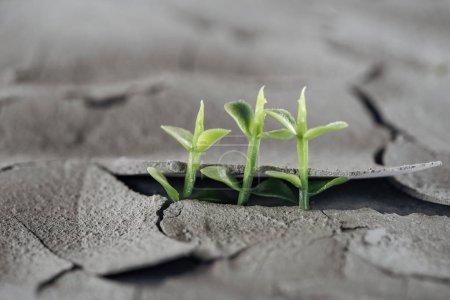 Photo pour Ciblage sélectif des jeunes plantes vertes sur le sol fissuré séché, concept de réchauffement climatique - image libre de droit