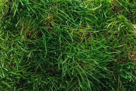 Photo pour Vue de dessus de texture d'herbe verte avec espace copie - image libre de droit