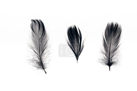 Photo for Three black lightweight feathers in row isolated on white - Royalty Free Image