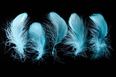 Photo for Set of blue bright textured and lightweight feathers isolated on black - Royalty Free Image