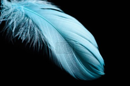Photo for Close up of lightweight blue textured plume isolated on black - Royalty Free Image