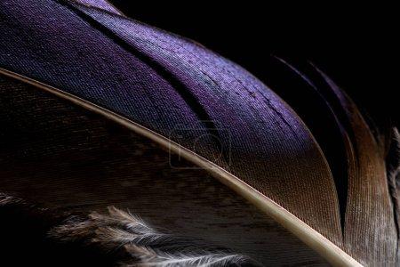 Photo pour Gros plan de plume texturée douce violette et marron légère isolée sur du noir - image libre de droit