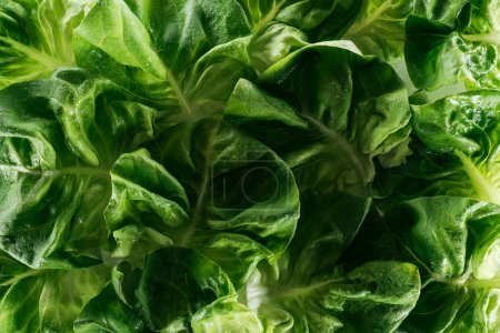 Photo for Close up view of fresh wet green lettuce leaves - Royalty Free Image