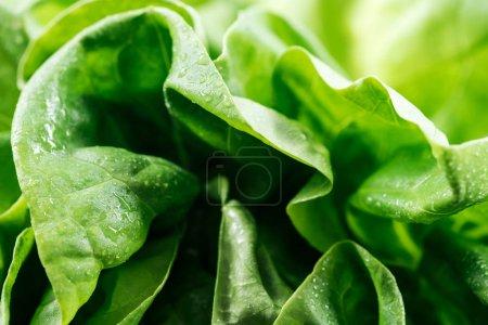Photo pour Fermer la vue vers le haut des feuilles fraîches naturelles humides de laitue verte - image libre de droit