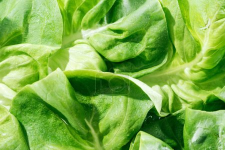 Photo for Close up view of fresh organic wet green lettuce leaves with water drops - Royalty Free Image