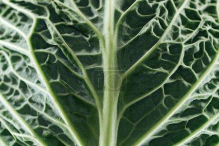 Photo pour Fermer vers le haut de la vue de la feuille fraîche fraîche verte de chou - image libre de droit